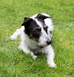 Jack Russell-Kreuzhund, der im Abstand schaut Lizenzfreies Stockbild
