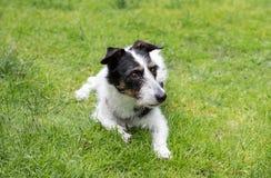 Jack Russell-Kreuzhund, der weg schaut Lizenzfreies Stockbild