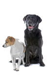 Jack Russell and Labrador Stock Images