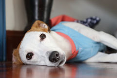 Jack russell lie on the floor Stock Photo