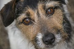 Jack Russell looking into camera. Aged Jack Russell looking into camera with sad eyes royalty free stock photography