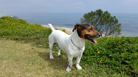 JACK RUSSELL stock images
