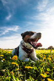 Jack Russell on a meadow Royalty Free Stock Photography