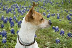 Jack Russell Mix and Bluebonnets. Jack Russell terrier mix standing in field of bluebonnets in Texas Stock Photo