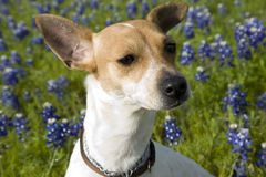 Jack Russell Mix and Bluebonnets. Jack Russell terrier mix standing in field of bluebonnets in Texas Royalty Free Stock Photos