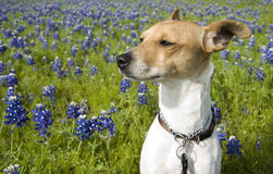 Jack Russell Mix and Bluebonnets. Jack Russell terrier mix standing in field of bluebonnets in Texas Royalty Free Stock Photo