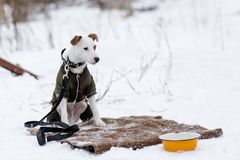 Jack Russell na roupa do inverno Imagens de Stock