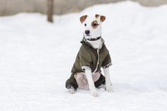 Jack Russell na roupa no inverno Foto de Stock