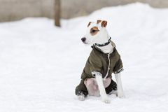 Jack Russell na roupa no inverno Foto de Stock Royalty Free