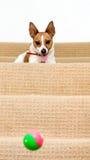 Jack Russell nas escadas que prestam atenção à esfera saltar Imagens de Stock Royalty Free