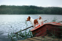 Jack Russell on the nature of the summer in the green Royalty Free Stock Images