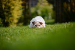 Jack russell nell'erba Fotografia Stock Libera da Diritti