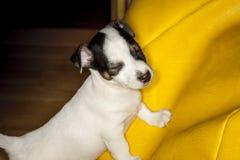 Jack Russell odpoczywać Zdjęcie Stock