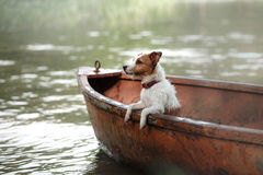 Jack Russell On The Nature Of The Summer In The Green Stock Photo