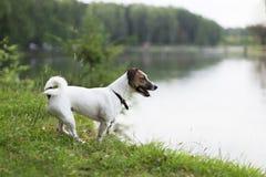 Jack Russell op de banken van de rivier stock afbeeldingen