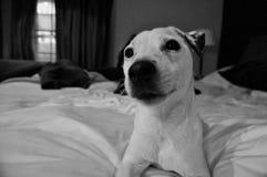 Jack Russell på säng Royaltyfria Foton