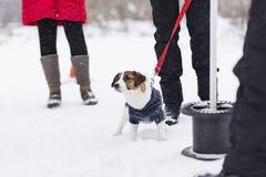 Jack Russell para uma caminhada Imagem de Stock