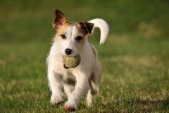 Jack Russell Parson Terrier foto de archivo libre de regalías
