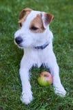Jack Russell Parson Terrier, der mit Apfelspielzeug spielt Stockfotografie