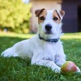 Jack Russell Parson Terrier, der mit Apfelspielzeug spielt Lizenzfreie Stockbilder