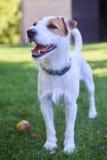 Jack Russell Parson Terrier, der mit Apfelspielzeug spielt Lizenzfreie Stockfotografie