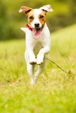 Jack Russell Parson Terrier Dog photographie stock