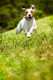 Jack Russell Parson Terrier Dog images stock