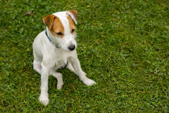 Jack Russell Parson Terrier Dog playing outdoors on green grass Royalty Free Stock Photos