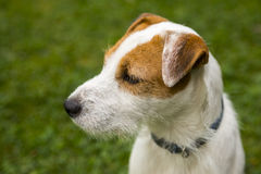 Jack Russell Parson Terrier Dog playing outdoors on green grass Royalty Free Stock Images