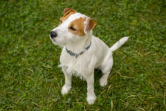 Jack Russell Parson Terrier Dog playing outdoors on green grass Royalty Free Stock Image