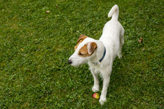 Jack Russell Parson Terrier Dog playing outdoors on green grass Stock Image