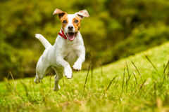 Jack Russell Parson Terrier Dog Stock Image