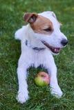 Jack Russell Parson Terrier-het spelen met appelstuk speelgoed Stock Afbeeldingen