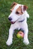 Jack Russell Parson Terrier-het spelen met appelstuk speelgoed Stock Foto's