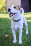 Jack Russell Parson Terrier playing with apple toy. Jack russell parson terrier dog Royalty Free Stock Photography