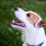 Jack Russell Parson Terrier Portrait Photographie stock libre de droits