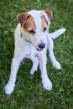 Jack Russell Parson Terrier Portrait Imagem de Stock Royalty Free