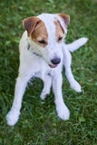 Jack Russell Parson Terrier Portrait. Jack russell parson terrier dog Royalty Free Stock Image