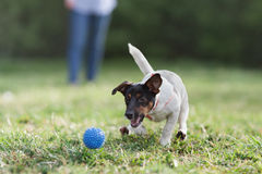 JACK RUSSELL PARSON TERRIER RUNNING in park Stock Photos