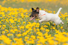 JACK RUSSELL PARSON TERRIER RUNNING in park Royalty Free Stock Images