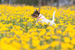 JACK RUSSELL PARSON TERRIER RUNNING in park Royalty Free Stock Photo