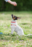 JACK RUSSELL PARSON TERRIER sitting on grass Stock Image