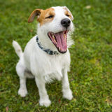 Jack Russell Parson Terrier yawling Royalty Free Stock Photography