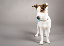 Jack Russell. Picture of a jack russell, on a grey background royalty free stock photo