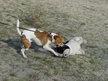 Jack Russell Playing Stockfoto