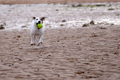 Jack Russell playing ball on the beach Royalty Free Stock Photos