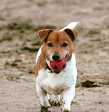Jack Russell playing with ball at the beach, Norfolk UK royalty free stock photos