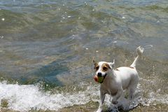 Jack Russell Playing en el lago Foto de archivo