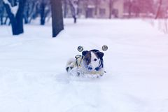 Jack Russell plays stock photography