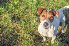 Jack Russell pleading. Direct eye contact address from a hopeful little dog Royalty Free Stock Photo